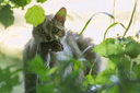 chat sauvage 25 juin 2015 DSC1115 copie cr